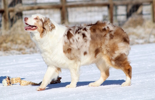 RED MERLE AUSSIE